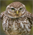 little.owl avatar